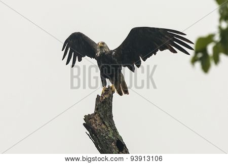 An adult bald eagle wet from a strong rain on tree top