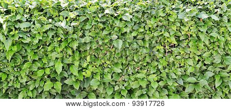 The Cut-off Bush With Leaves
