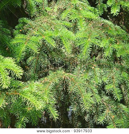 Green Branches Of Fir-tree Close Up