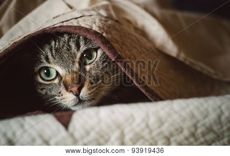 Tabby Cat Hiding Under A Blanket