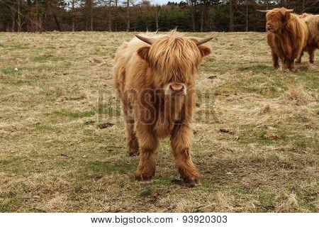 Bull In A Field In Denmark