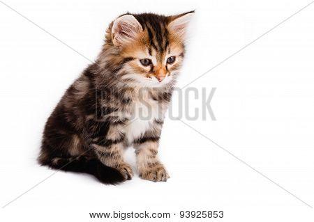 Small Kitten Sitting On White Background