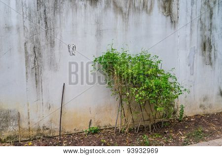 Ivy Crawling Next To The White Vintage Wall