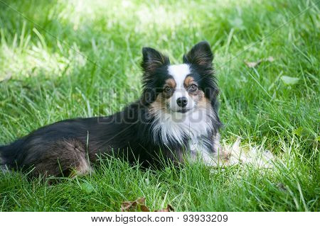 Australian Shepherd Grass