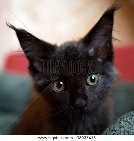 Black Kitten Maine Coon