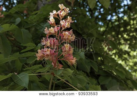 Red horse-chestnut or Aesculus hippocastanum, Conker tree flowers