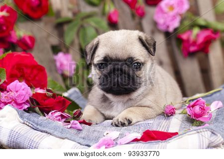 pug puppy and flower roses