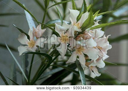 Oleander  or Nerium oleander flower