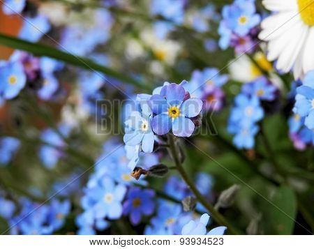 Blue Plant Flowers On A Summer Meadow.
