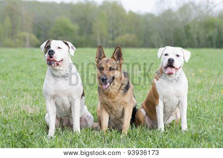Two American Bulldogs And One German Sheepdog