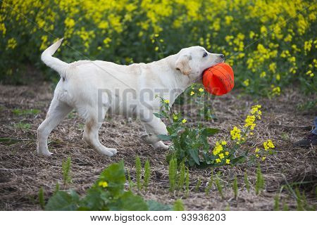 Labrador Puppy Playing With Red Ball