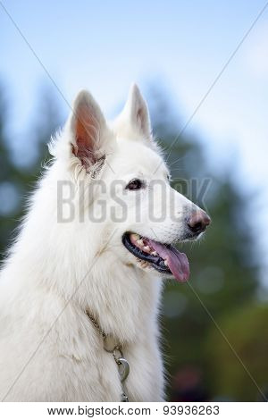 White Swiss Sheepdog