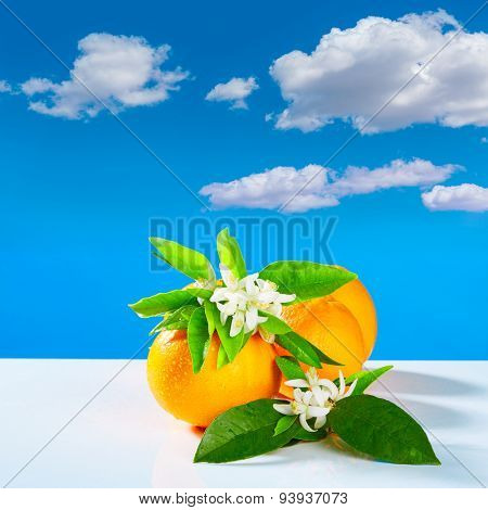 Oranges with orange blossom flowers in spring on blue sky