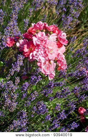 Lavender And Roses In The Garden