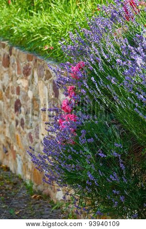 Lavender And Roses On A Garden Wall