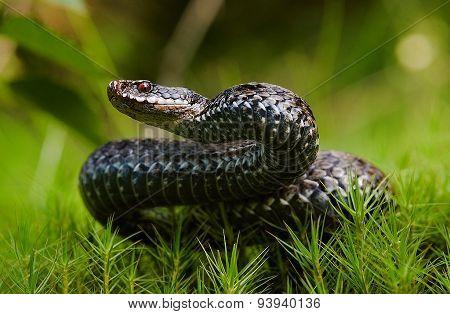 Common Viper