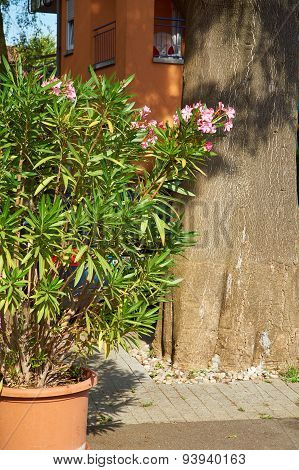Oleander In A Flowerpot