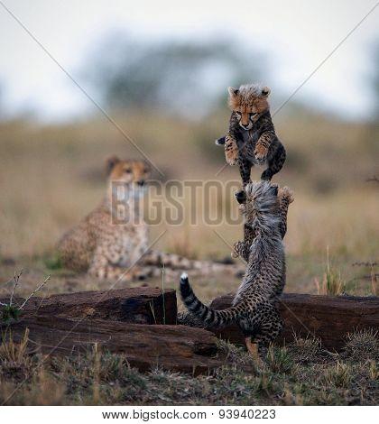 Playing wild  Cheetah  cubs