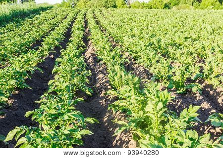 Field With Plantation Of Potatoes