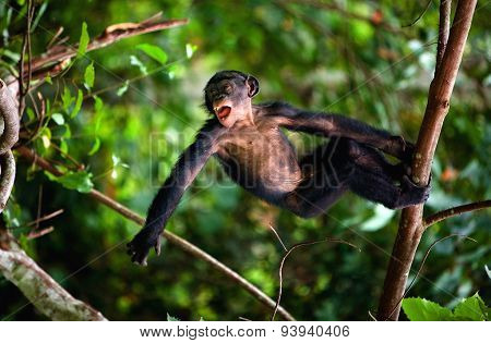 Kid Bonobo plays. The cub of Bonobo frolics in branches of trees. Congo.
