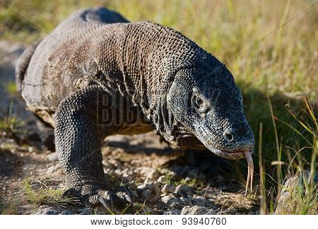 The huge Komodo Dragon quickly comes nearer. Rinca island, Indonesia.