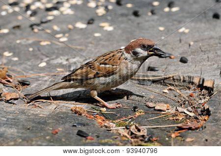 The Eurasian tree sparrow