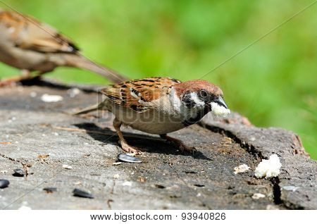 The Eurasian tree sparrow.