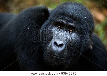 Portrait of a mountain gorilla at a short distance. A gorilla very close,