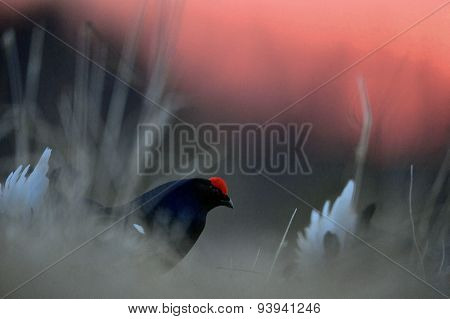 Portrait of a lekking black grouse (Tetrao tetrix) Sunrise .
