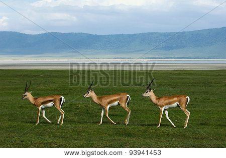Three gazelles