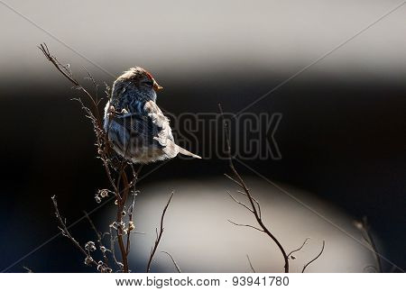 The Common Redpoll (Carduelis flammea)