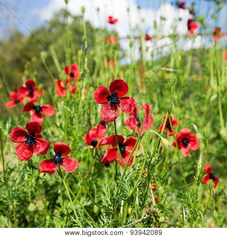 Authentic Landscape Of Wild Red Poppies Against The Sky As Background For Design. Selective Focus An