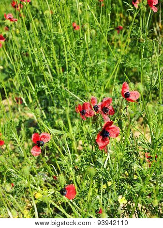 Authentic Landscape Of Wild Red Poppies On A Background Of Green Grass As Background For Design. Sel