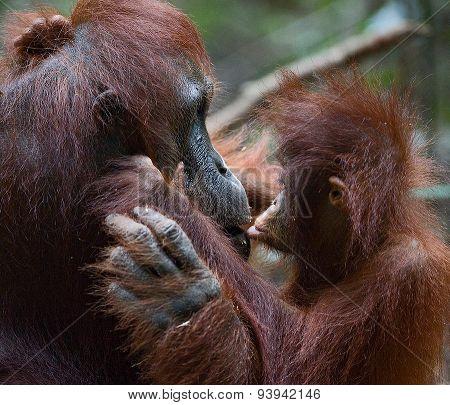 cub of the orangutan kisses mum
