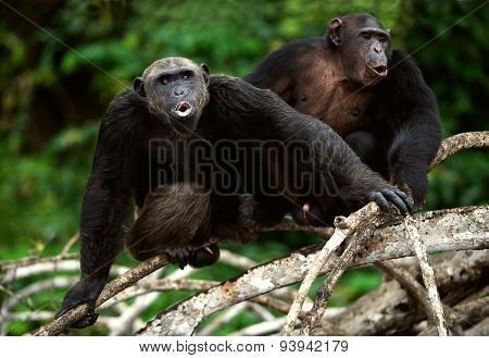 Chimpanzees sit on a tree branch in wood