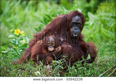 Female the orangutan with the cub