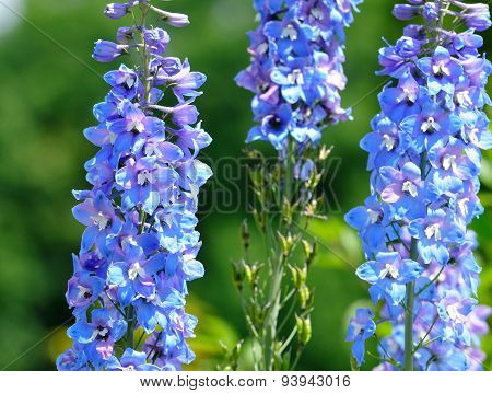 Larkspur, or Delphinium or Spurrier