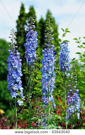 Larkspur, or Delphinium or Spurrier - genus of annual and perennial herbaceous plants of the family