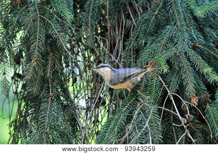 Eurasian nuthatch sitting on a branch of spruce.