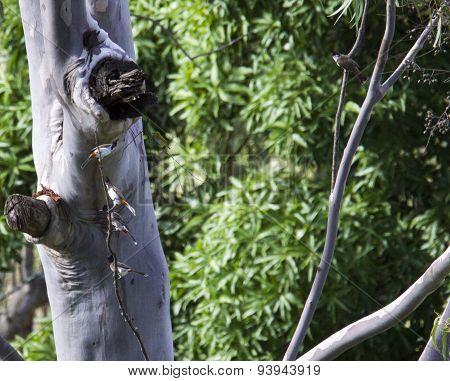 bulbuls on a tree twig
