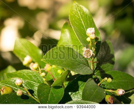 Cotoneaster melanocarpa