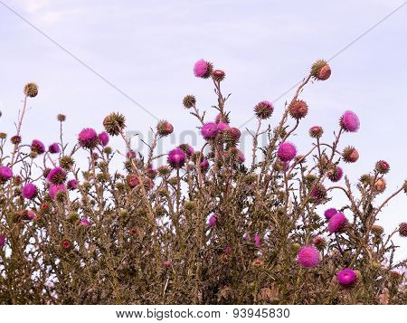 Beautiful Bright Flower Thistle. Selective Focus, Space In The Zone Blurring Compositions For The Pr