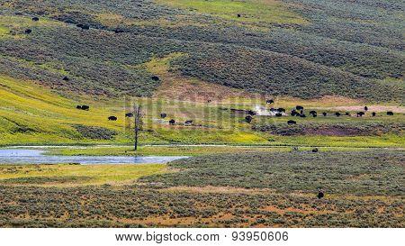 Bisons in Hayden Valley, Yellowstone National Park
