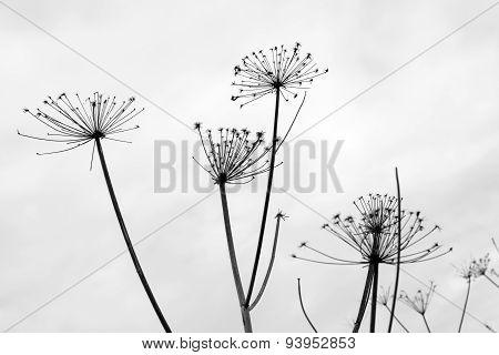Silhouettes Of Umbrellas Dry Grass