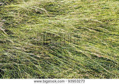 Blown Down Flowering Grass From Close