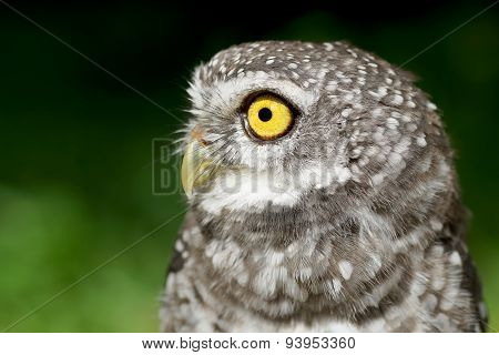 Spotted Owlet Or Athene Brama Bird