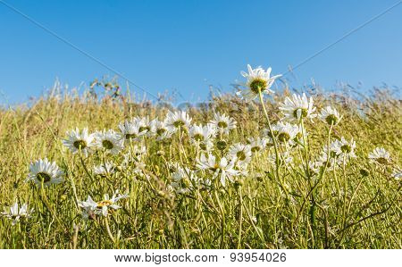 Wild Daisies And Grasses Bending In The Wind