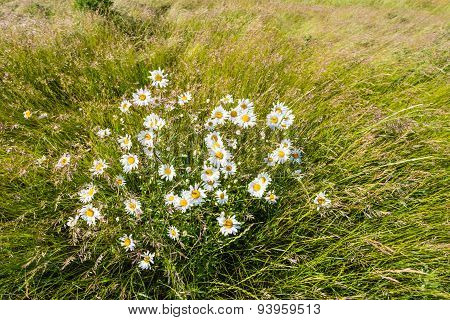 Wild Daisies And Grasses Fanned Out