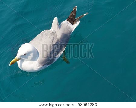A floating herring gull