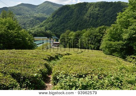 MATSESTA, SOCHI, RUSSIA - MAY 17, 2015: Tea factory and tea plantation near Matsesta. The most Northern tea in the world is grown here